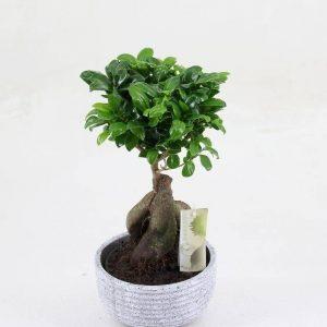 bonsai-ficus-ginseng