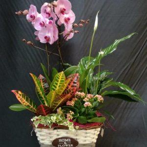 cesta plantas-phalaepnosis